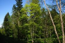 Acer cappadocicum 'Aureum' (Arboretum Robert Lenoir)