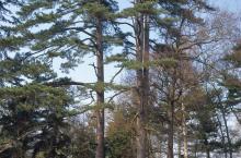 Pinus nigra subsp. laricio Maire