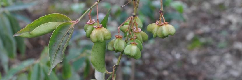 Euonymus sp.